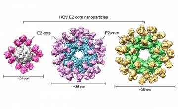 Researchers unveil promising hepatitis C vaccine design