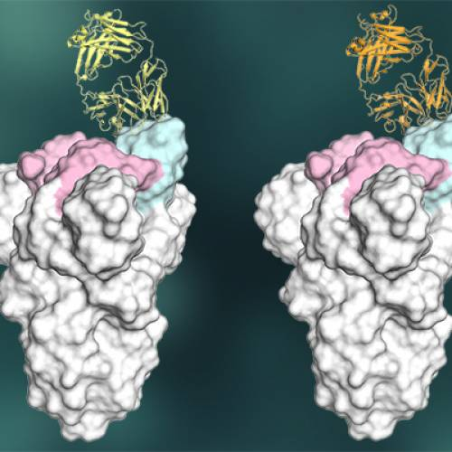 Key element of strong antibody response to COVID-19 offer inspiration for vaccine design