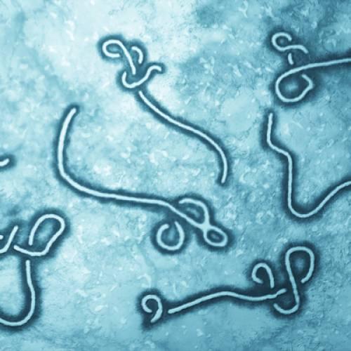 New ebolavirus vaccine design seeks to drive stronger antibody defense